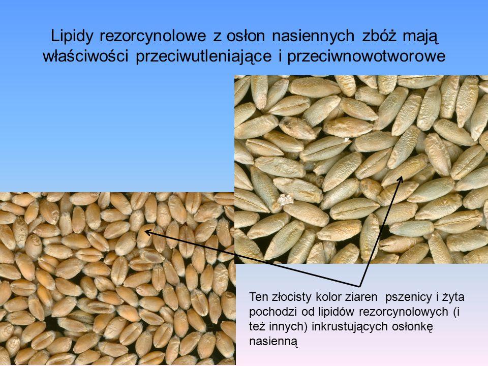 Lipidy rezorcynolowe z osłon nasiennych zbóż mają właściwości przeciwutleniające i przeciwnowotworowe Ten złocisty kolor ziaren pszenicy i żyta pochodzi od lipidów rezorcynolowych (i też innych) inkrustujących osłonkę nasienną