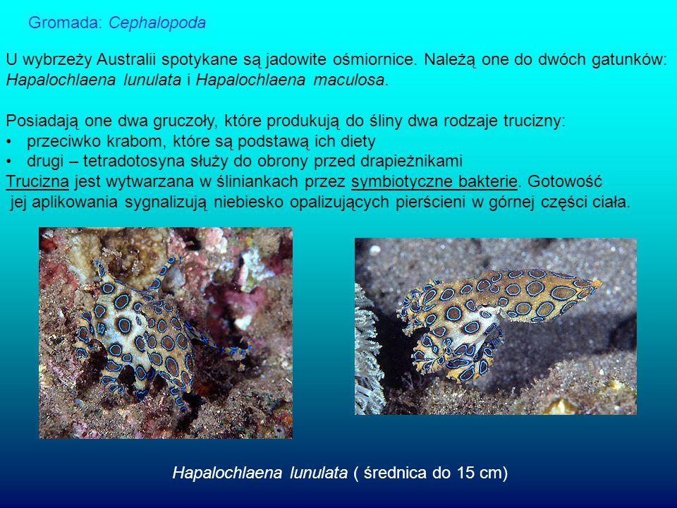 Gromada: Cephalopoda U wybrzeży Australii spotykane są jadowite ośmiornice. Należą one do dwóch gatunków: Hapalochlaena lunulata i Hapalochlaena macul