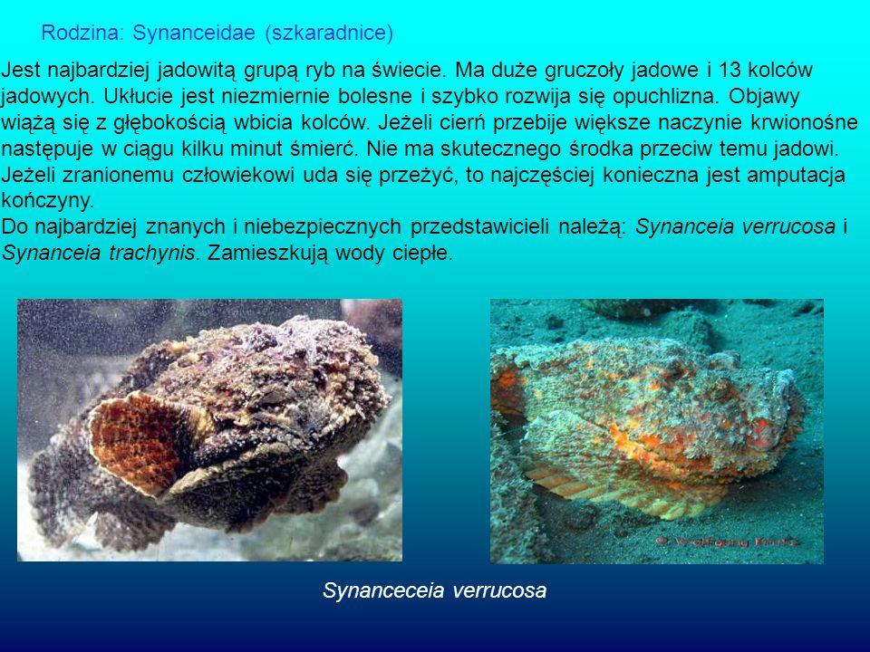 Rodzina: Synanceidae (szkaradnice) Jest najbardziej jadowitą grupą ryb na świecie. Ma duże gruczoły jadowe i 13 kolców jadowych. Ukłucie jest niezmier