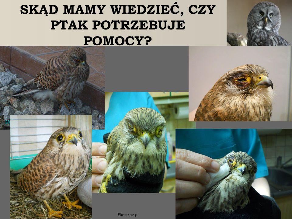 SKĄD MAMY WIEDZIEĆ, CZY PTAK POTRZEBUJE POMOCY? Ekostraz.pl