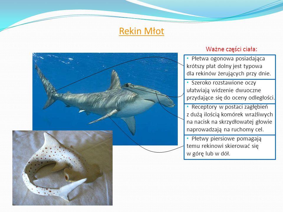 Rekin Młot Ważne części ciała: Płetwa ogonowa posiadająca krótszy płat dolny jest typowa dla rekinów żerujących przy dnie. Szeroko rozstawione oczy uł