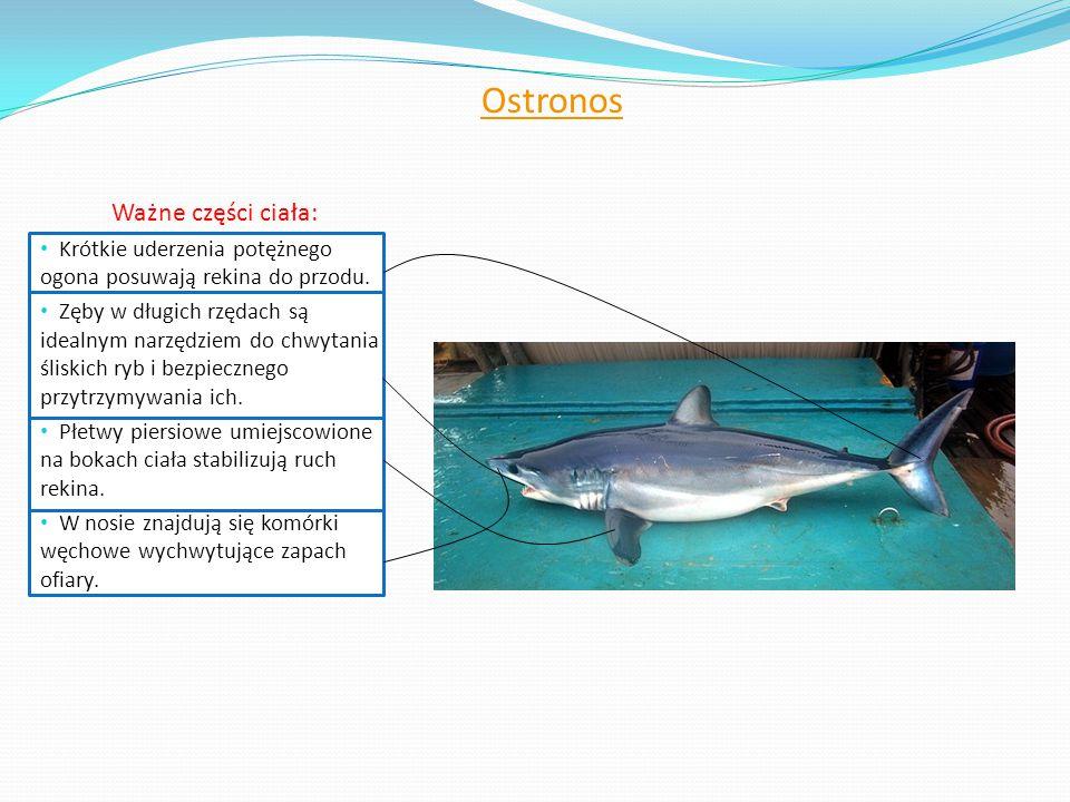 Ostronos Ważne części ciała: Krótkie uderzenia potężnego ogona posuwają rekina do przodu. Zęby w długich rzędach są idealnym narzędziem do chwytania ś