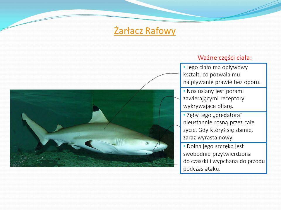 Żarłacz Rafowy Ważne części ciała: Jego ciało ma opływowy kształt, co pozwala mu na pływanie prawie bez oporu. Nos usiany jest porami zawierającymi re