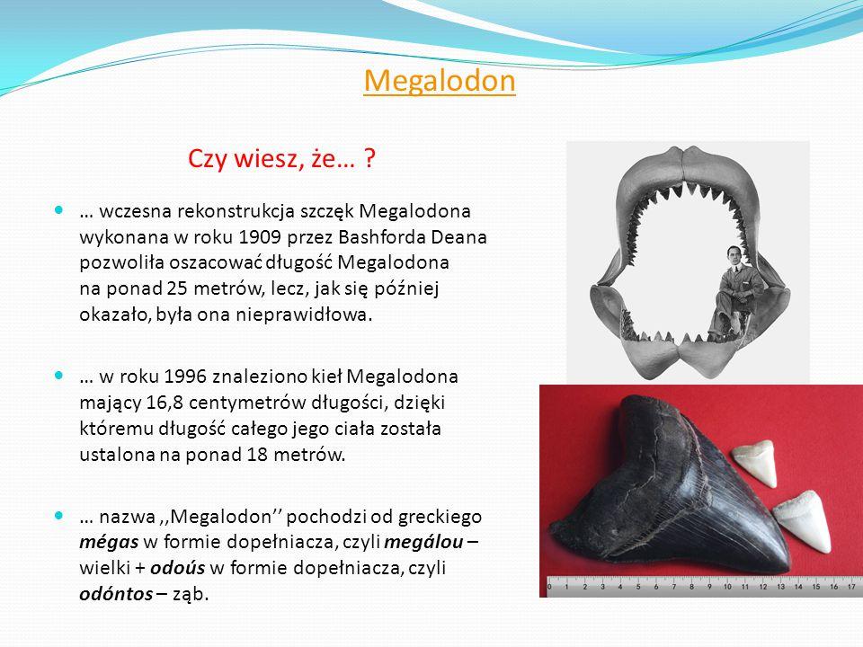Megalodon Czy wiesz, że… ? … wczesna rekonstrukcja szczęk Megalodona wykonana w roku 1909 przez Bashforda Deana pozwoliła oszacować długość Megalodona