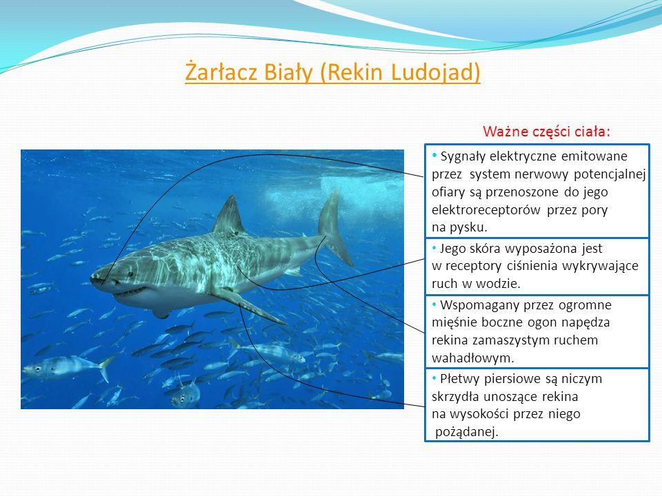 Żarłacz Biały (Rekin Ludojad) Ważne części ciała: Sygnały elektryczne emitowane przez system nerwowy potencjalnej ofiary są przenoszone do jego elektr
