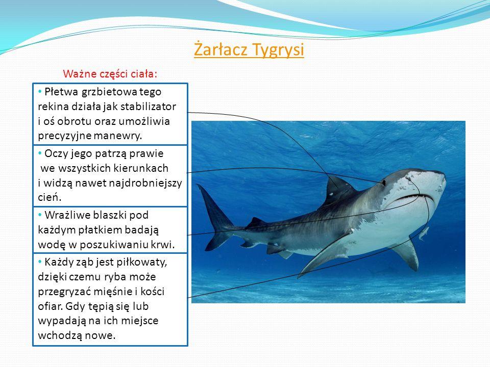 Żarłacz Tygrysi Ważne części ciała: Płetwa grzbietowa tego rekina działa jak stabilizator i oś obrotu oraz umożliwia precyzyjne manewry. Oczy jego pat