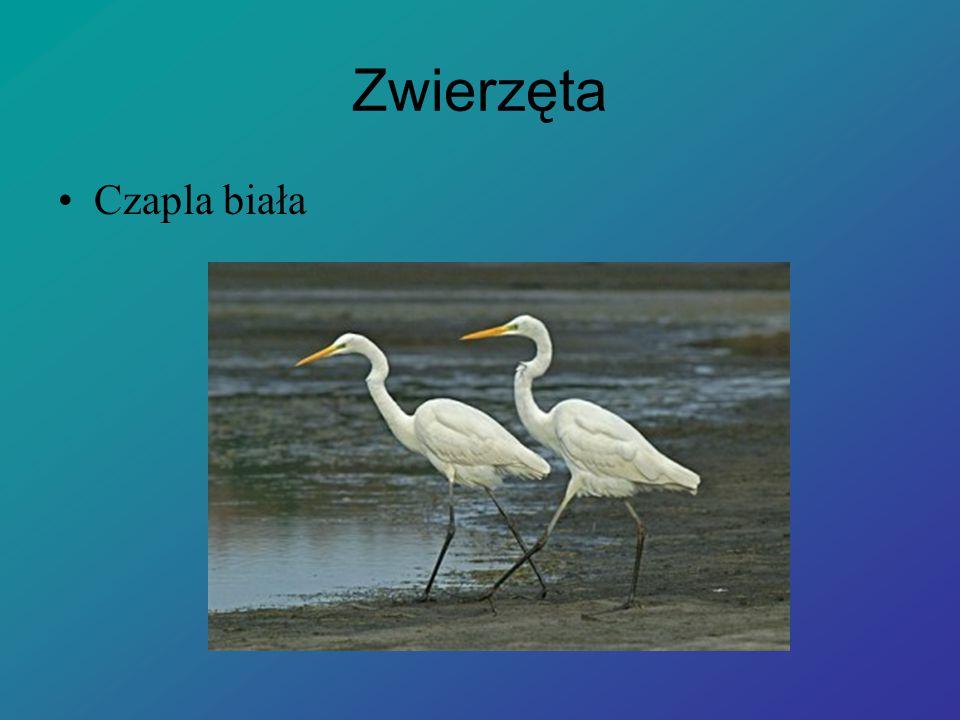 Zwierzęta Czapla biała