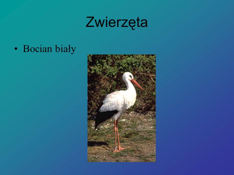 Zwierzęta Bocian biały