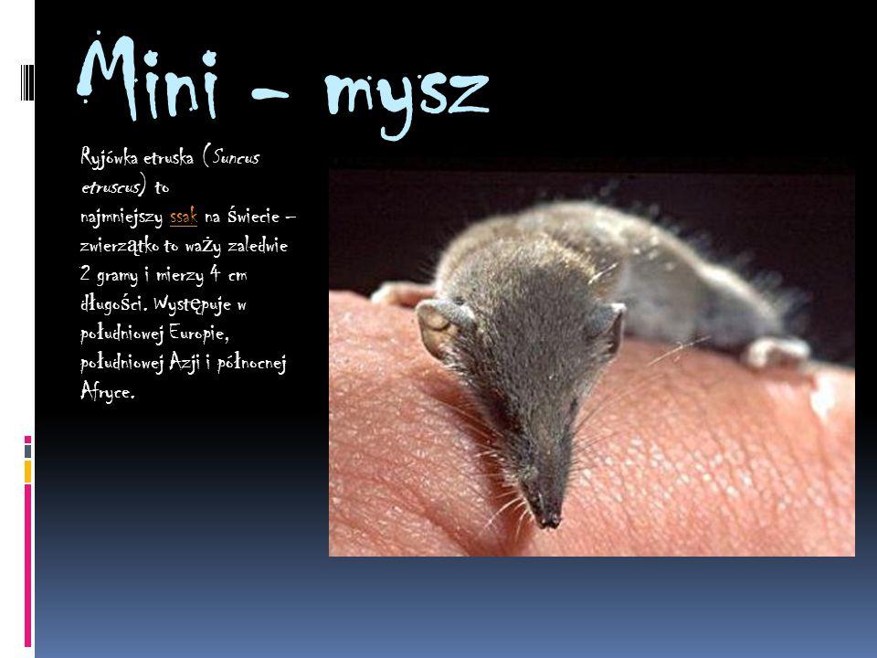 Mini - mysz Ryjówka etruska (Suncus etruscus) to najmniejszy ssak na ś wiecie – zwierz ą tko to wa ż y zaledwie 2 gramy i mierzy 4 cm d ł ugo ś ci.