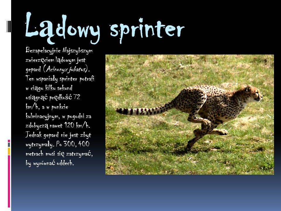 L ą dowy sprinter Bezapelacyjnie Najszybszym zwierz ę ciem l ą dowym jest gepard (Acinonyx jubatus).