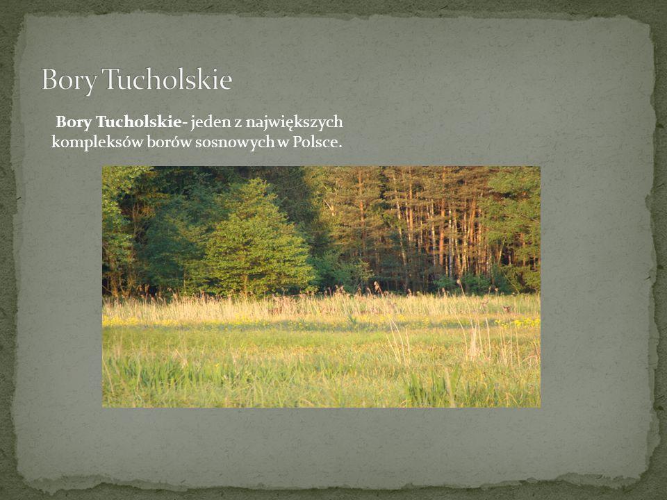 Bory Tucholskie- jeden z największych kompleksów borów sosnowych w Polsce.
