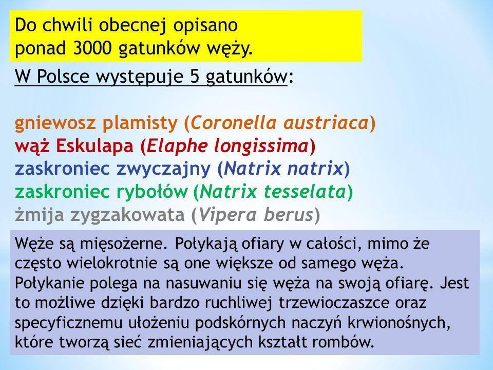 Do chwili obecnej opisano ponad 3000 gatunków węży. W Polsce występuje 5 gatunków: gniewosz plamisty (Coronella austriaca) wąż Eskulapa (Elaphe longis