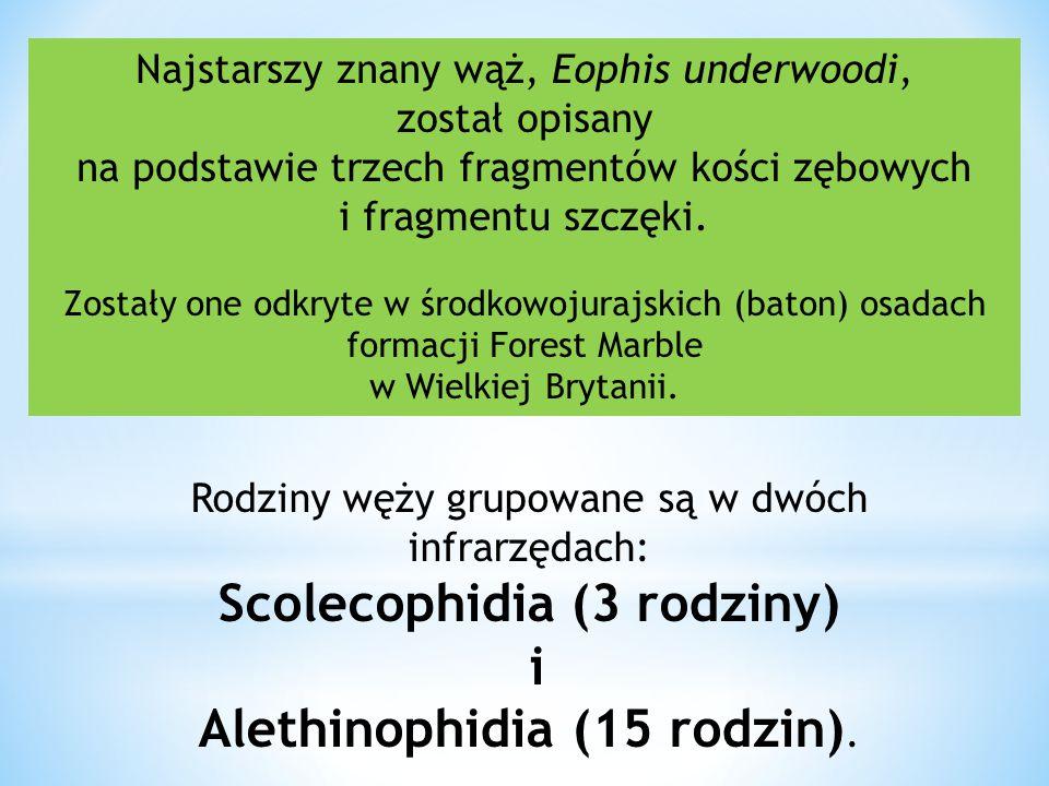 Najstarszy znany wąż, Eophis underwoodi, został opisany na podstawie trzech fragmentów kości zębowych i fragmentu szczęki. Zostały one odkryte w środk