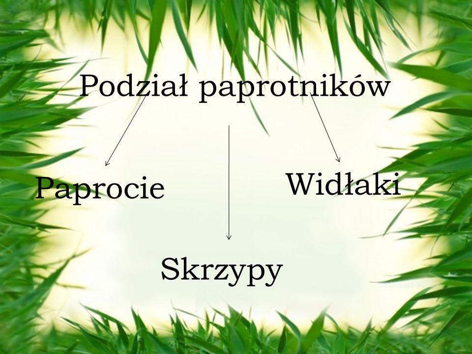 Podział paprotników Paprocie Skrzypy Widłaki