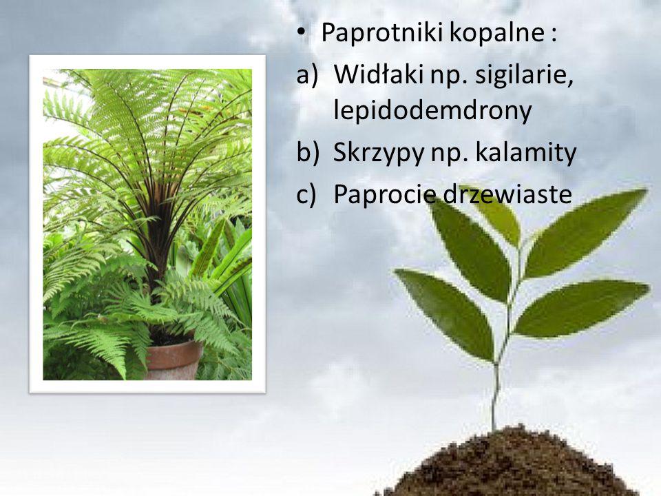 Paprotniki kopalne : a)Widłaki np.sigilarie, lepidodemdrony b)Skrzypy np.
