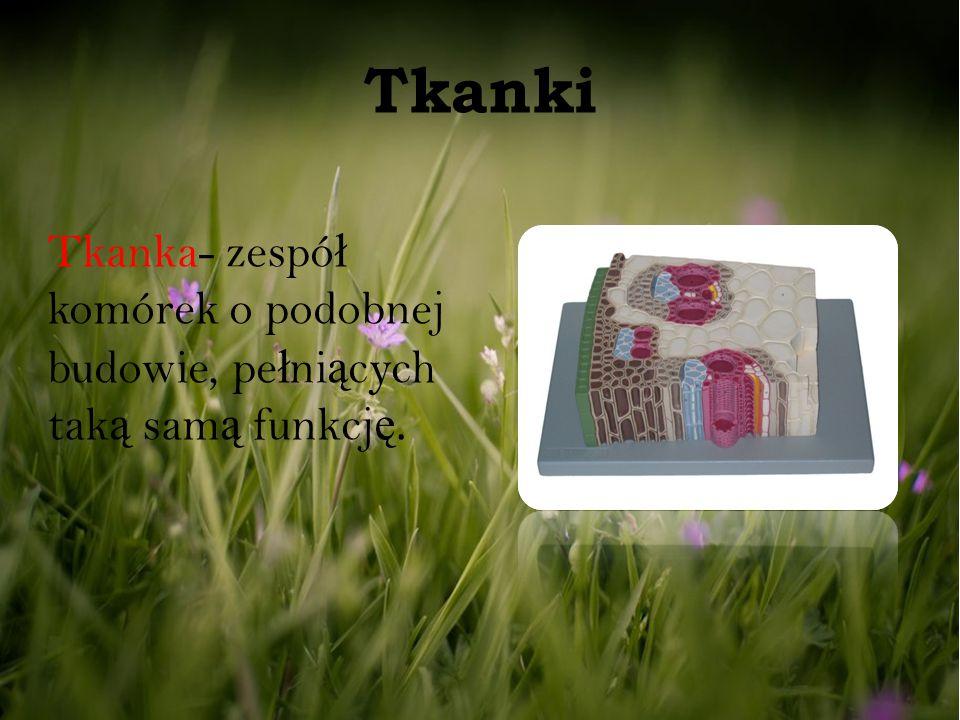 Tkanki Tkanka- zespó ł komórek o podobnej budowie, pe ł ni ą cych tak ą sam ą funkcj ę.