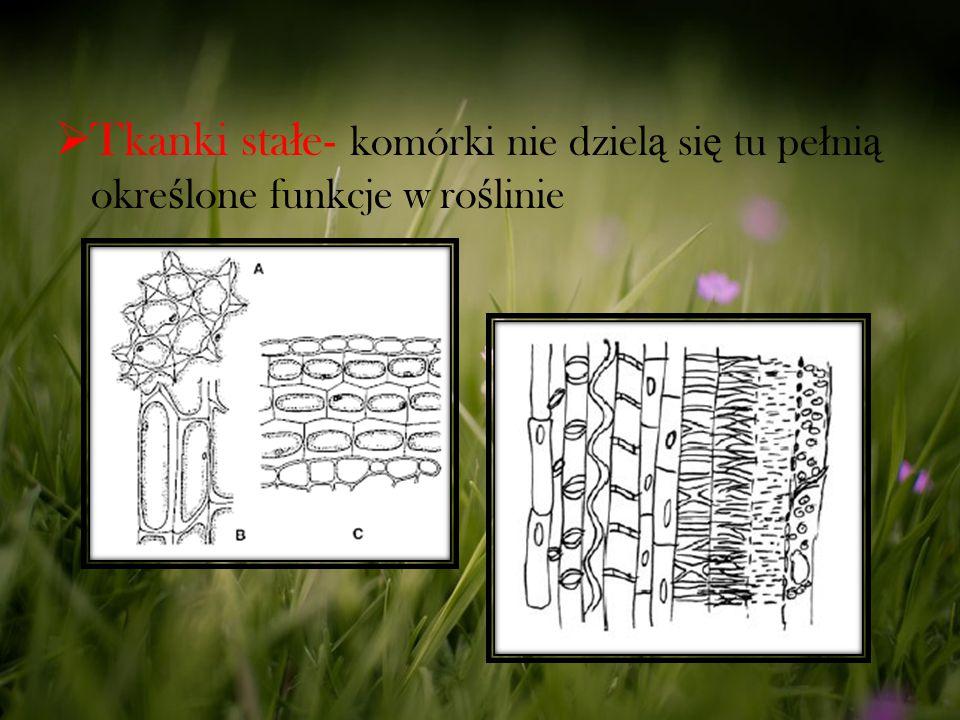  Tkanki sta ł e- komórki nie dziel ą si ę tu pe ł ni ą okre ś lone funkcje w ro ś linie