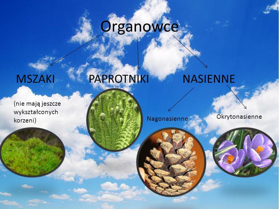 Organowce MSZAKI PAPROTNIKI NASIENNE (nie mają jeszcze wykształconych korzeni) Nagonasienne Okrytonasienne