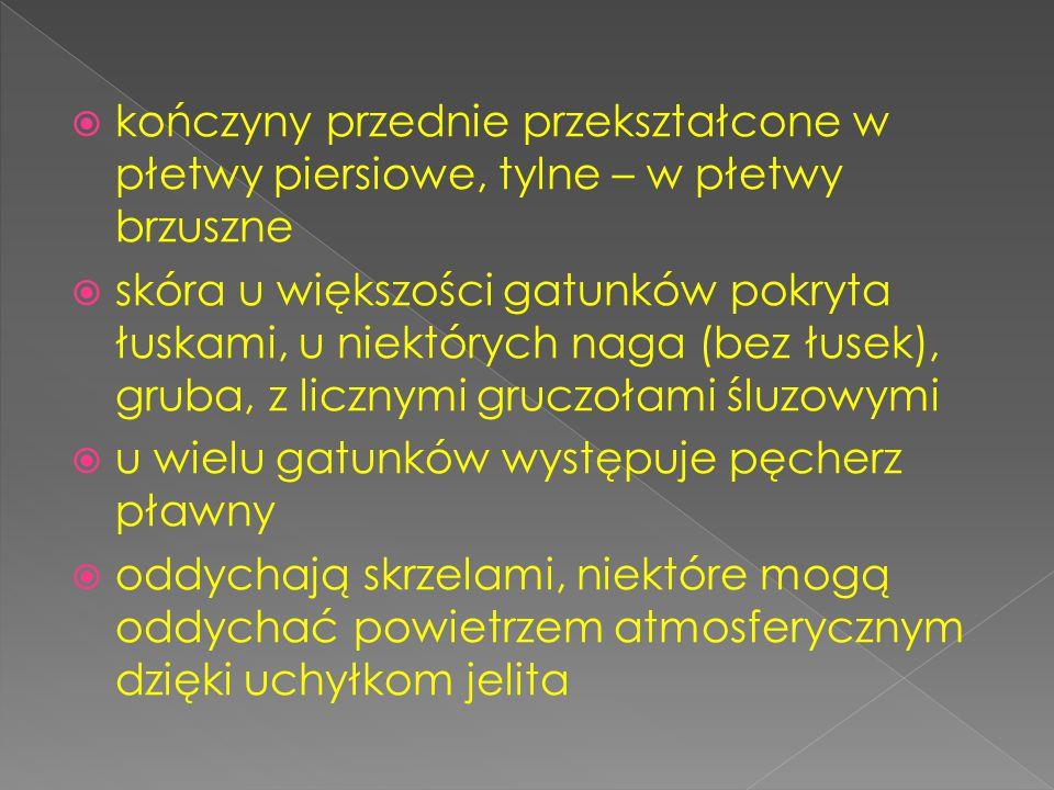  kończyny przednie przekształcone w płetwy piersiowe, tylne – w płetwy brzuszne  skóra u większości gatunków pokryta łuskami, u niektórych naga (bez