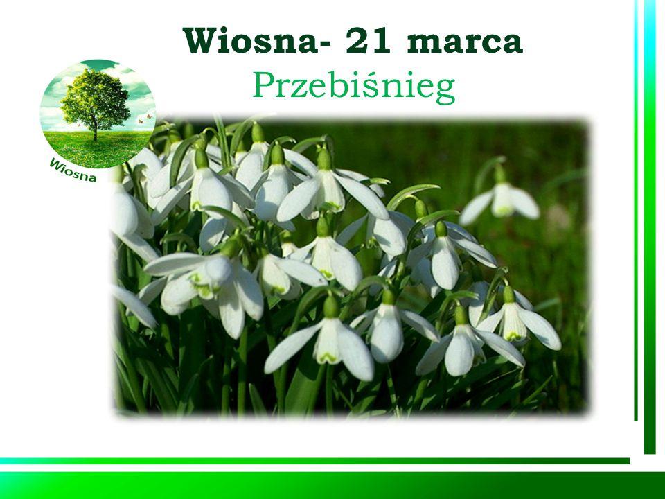 Wiosna- 21 marca Przebiśnieg