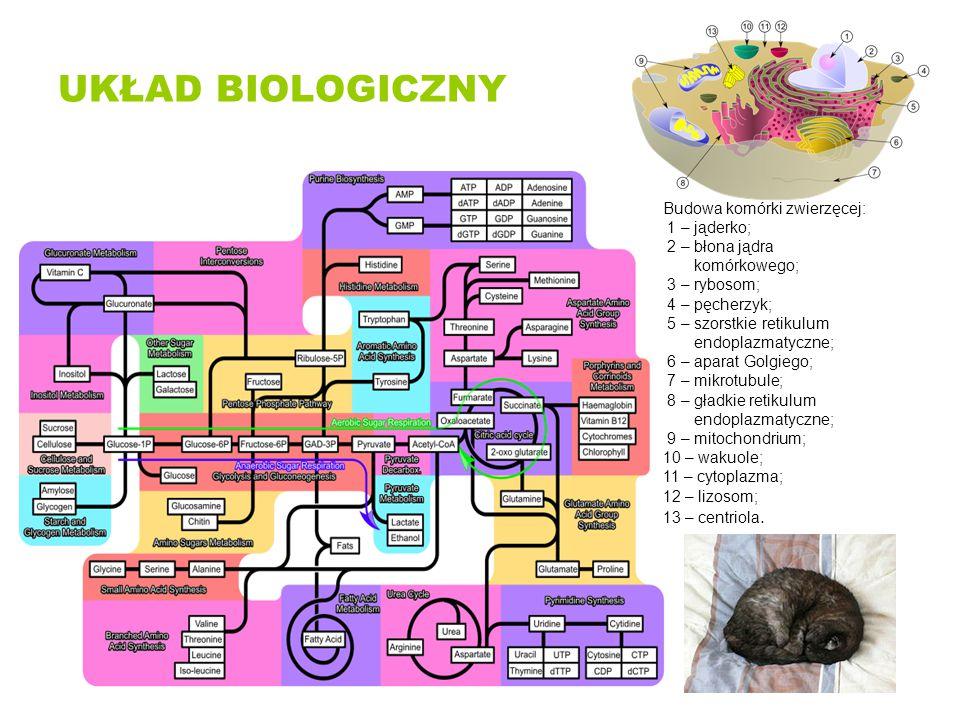 CHARAKTERYSTYKA UKŁADÓW BIOLOGICZNYCH Wieloskładnikowowość Dynamika oddziaływań Niejednorodność (nierównomierny rozkład cząsteczek w przestrzeni) Nieciągłość (Rozkład cząsteczek w przestrzeni zmienia się skokowo – błony biologiczne) Nierównowagowość (układy biologiczne jako złożone układy hierarchiczne znajdują się w stanie nierównowagi termodynamicznej)