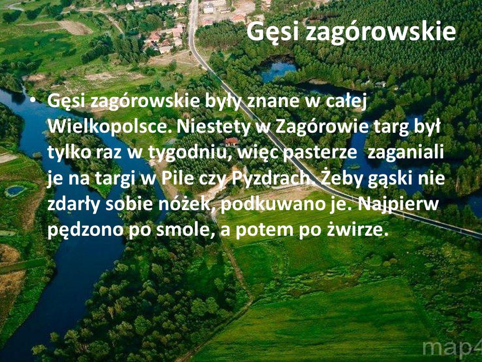 Gęsi zagórowskie Gęsi zagórowskie były znane w całej Wielkopolsce. Niestety w Zagórowie targ był tylko raz w tygodniu, więc pasterze zaganiali je na t