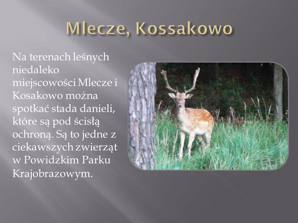 Na terenach leśnych niedaleko miejscowości Mlecze i Kosakowo można spotkać stada danieli, które są pod ścisłą ochroną. Są to jedne z ciekawszych zwier
