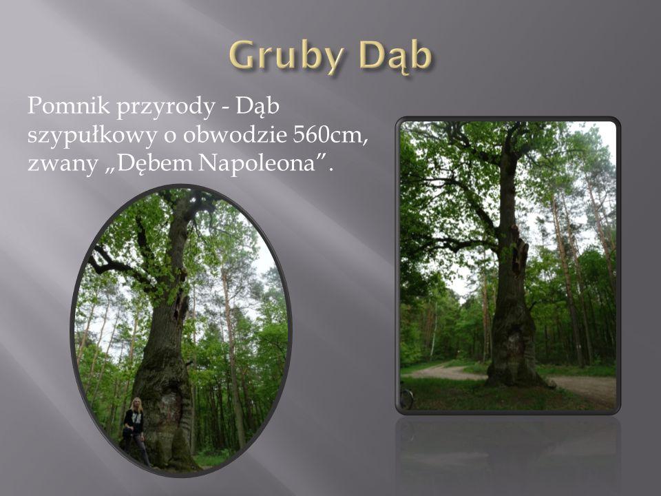 """Pomnik przyrody - Dąb szypułkowy o obwodzie 560cm, zwany """"Dębem Napoleona""""."""