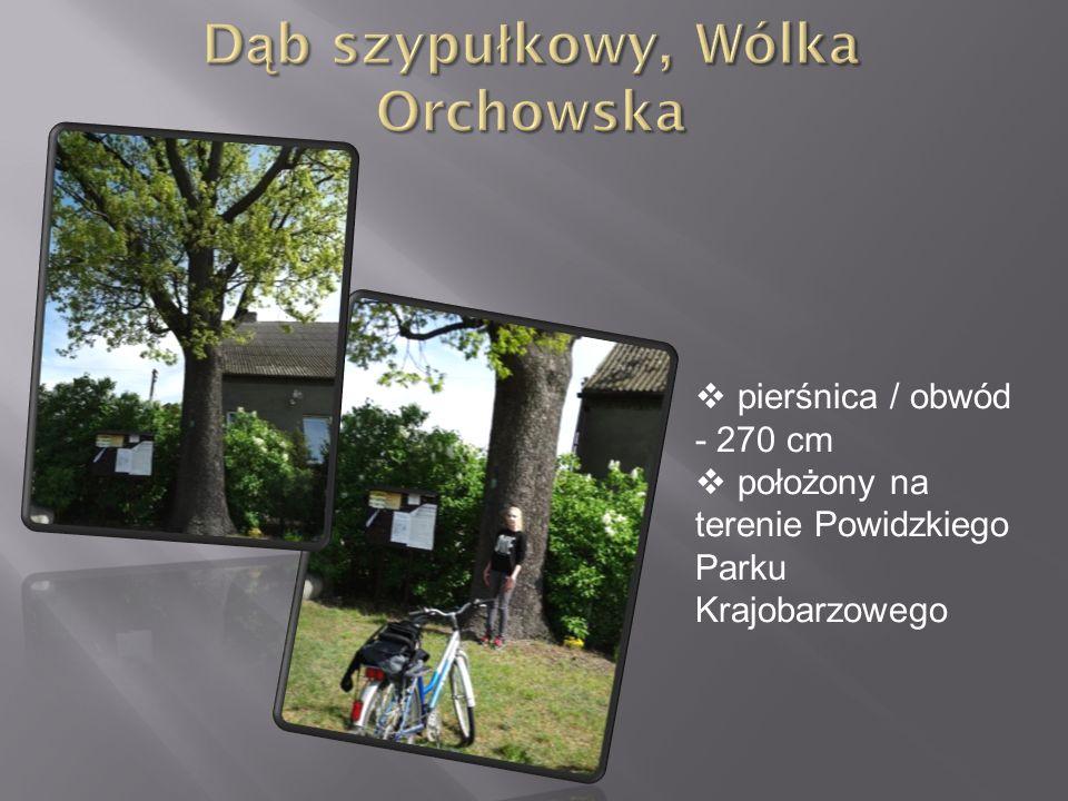  pierśnica / obwód - 270 cm  położony na terenie Powidzkiego Parku Krajobarzowego
