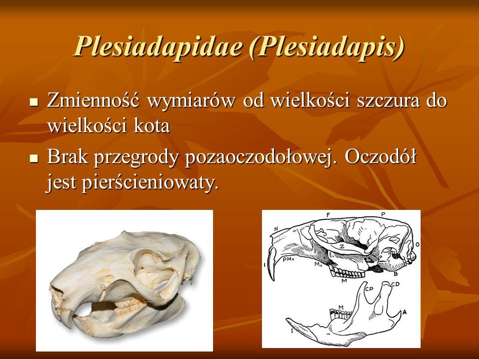 Plesiadapidae (Plesiadapis) Zmienność wymiarów od wielkości szczura do wielkości kota Zmienność wymiarów od wielkości szczura do wielkości kota Brak p