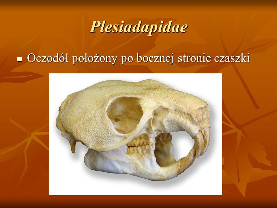 Plesiadapidae Oczodół położony po bocznej stronie czaszki Oczodół położony po bocznej stronie czaszki