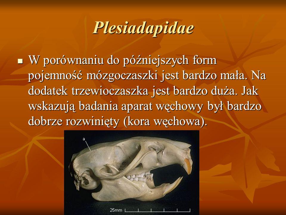Plesiadapidae W porównaniu do późniejszych form pojemność mózgoczaszki jest bardzo mała. Na dodatek trzewioczaszka jest bardzo duża. Jak wskazują bada
