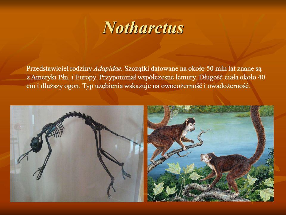 Notharctus Przedstawiciel rodziny Adapidae. Szczątki datowane na około 50 mln lat znane są z Ameryki Płn. i Europy. Przypominał współczesne lemury. Dł
