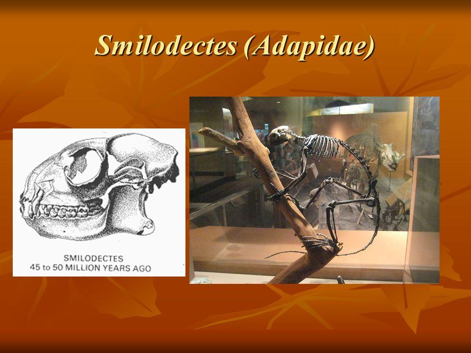 Smilodectes (Adapidae)