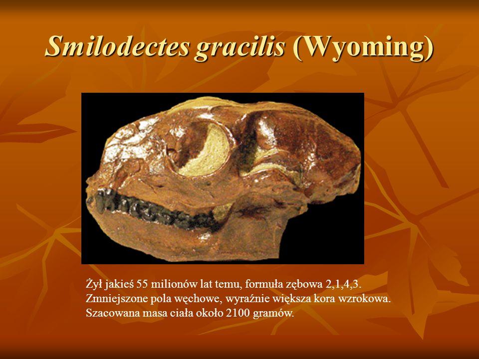 Smilodectes gracilis (Wyoming) Żył jakieś 55 milionów lat temu, formuła zębowa 2,1,4,3. Zmniejszone pola węchowe, wyraźnie większa kora wzrokowa. Szac
