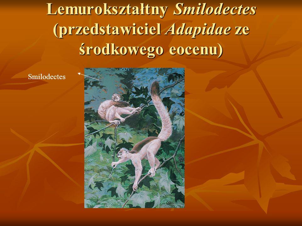 Lemurokształtny Smilodectes (przedstawiciel Adapidae ze środkowego eocenu) Smilodectes