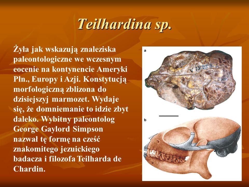 Teilhardina sp. Żyła jak wskazują znaleziska paleontologiczne we wczesnym eocenie na kontynencie Ameryki Płn., Europy i Azji. Konstytucją morfologiczn