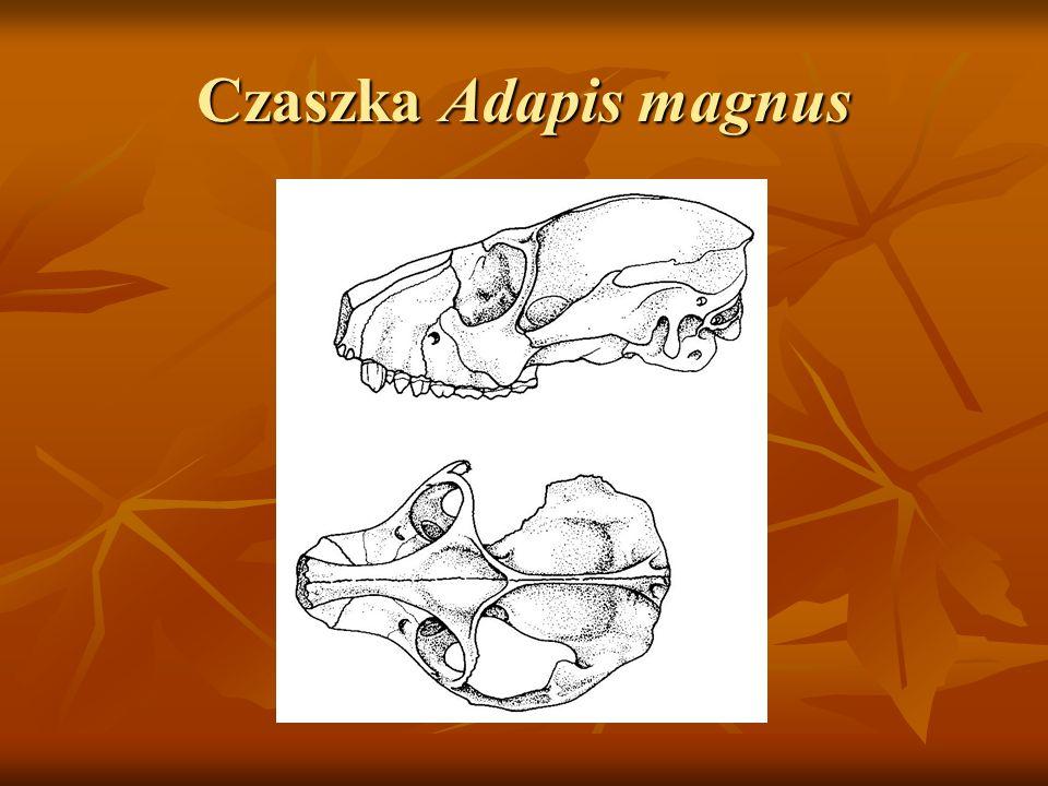 Czaszka Adapis magnus