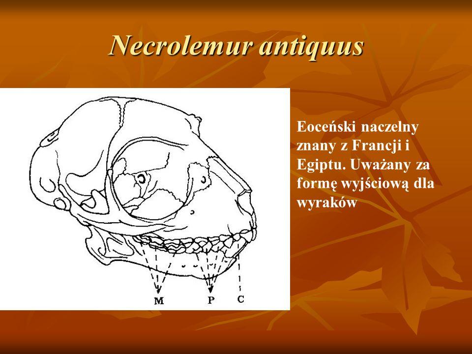 Necrolemur antiquus Eoceński naczelny znany z Francji i Egiptu. Uważany za formę wyjściową dla wyraków