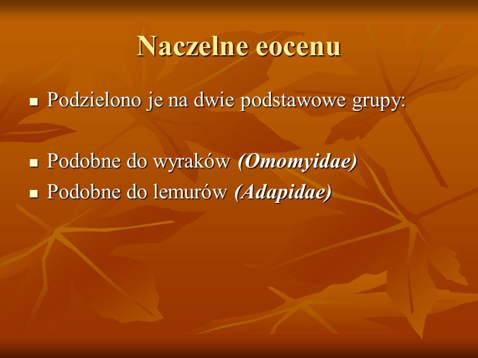Naczelne eocenu Podzielono je na dwie podstawowe grupy: Podzielono je na dwie podstawowe grupy: Podobne do wyraków (Omomyidae) Podobne do wyraków (Omo