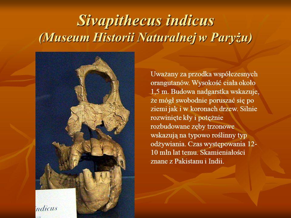 Sivapithecus indicus (Museum Historii Naturalnej w Paryżu) Uważany za przodka współczesnych orangutanów. Wysokość ciała około 1,5 m. Budowa nadgarstka