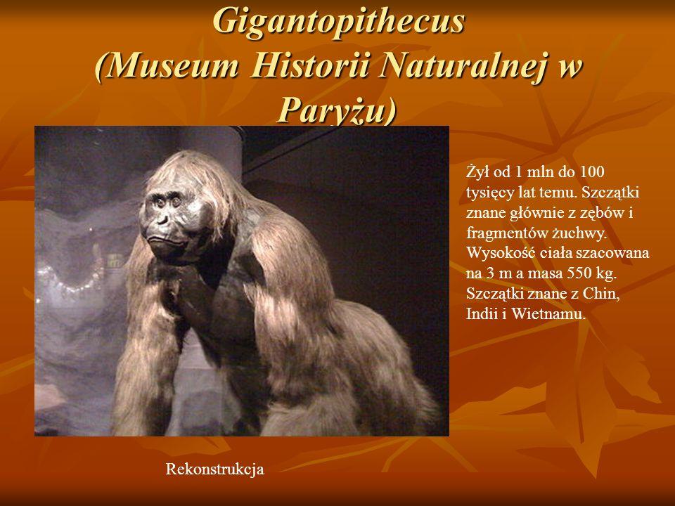 Gigantopithecus (Museum Historii Naturalnej w Paryżu) Żył od 1 mln do 100 tysięcy lat temu. Szczątki znane głównie z zębów i fragmentów żuchwy. Wysoko