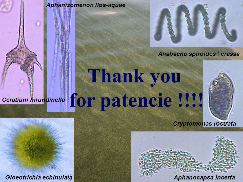 Anabaena spiroides f crassa Ceratium hirundinella Aphanizomenon flos-aquae Cryptomonas rostrata Gloeotrichia echinulataAphanocapsa incerta Thank you for patencie !!!!
