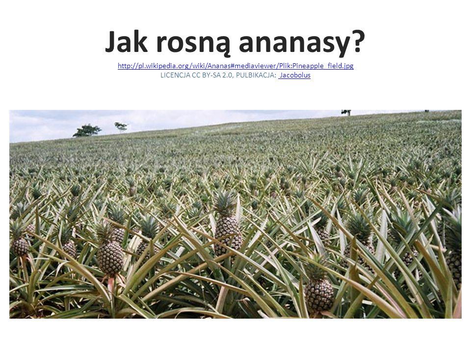 Jak rosną ananasy? http://pl.wikipedia.org/wiki/Ananas#mediaviewer/Plik:Pineapple_field.jpg LICENCJA CC BY-SA 2.0, PULBIKACJA: Jacobolus http://pl.wik
