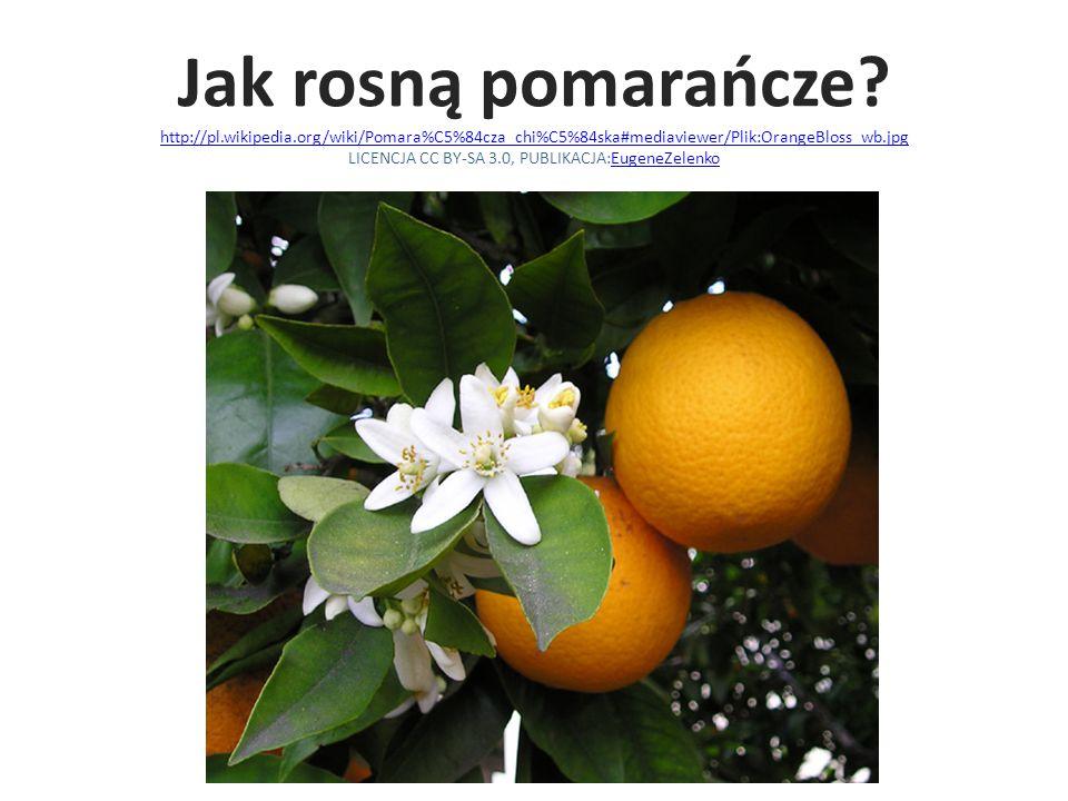 Jak rosną pomarańcze? http://pl.wikipedia.org/wiki/Pomara%C5%84cza_chi%C5%84ska#mediaviewer/Plik:OrangeBloss_wb.jpg LICENCJA CC BY-SA 3.0, PUBLIKACJA: