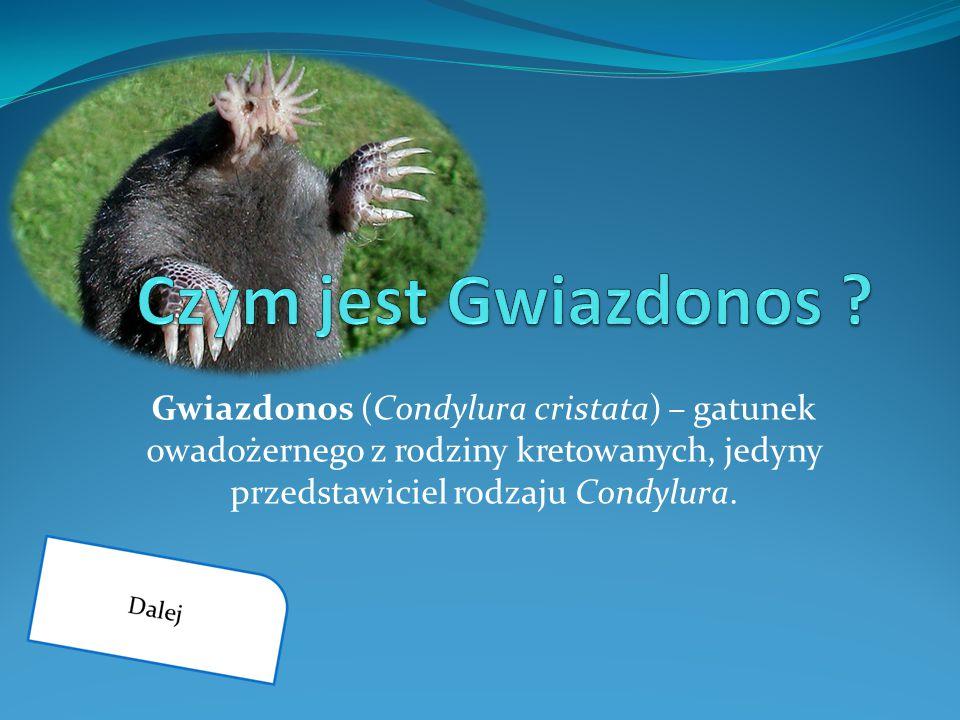 Gwiazdonos (Condylura cristata) – gatunek owadożernego z rodziny kretowanych, jedyny przedstawiciel rodzaju Condylura.