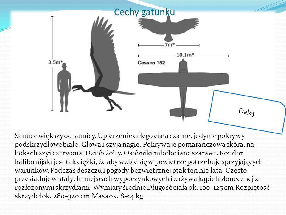 Cechy gatunku Samiec większy od samicy. Upierzenie całego ciała czarne, jedynie pokrywy podskrzydłowe białe. Głowa i szyja nagie. Pokrywa je pomarańcz