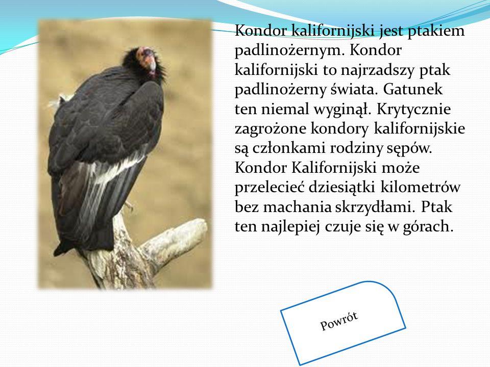 Kondor kalifornijski jest ptakiem padlinożernym. Kondor kalifornijski to najrzadszy ptak padlinożerny świata. Gatunek ten niemal wyginął. Krytycznie z