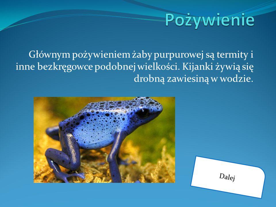Głównym pożywieniem żaby purpurowej są termity i inne bezkręgowce podobnej wielkości. Kijanki żywią się drobną zawiesiną w wodzie.