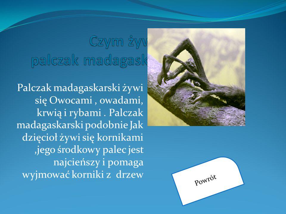 Palczak madagaskarski żywi się Owocami, owadami, krwią i rybami. Palczak madagaskarski podobnie Jak dzięcioł żywi się kornikami,jego środkowy palec je